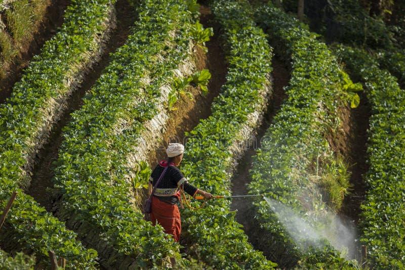 Nordlig Thailand kullestam i chiangmai som besprutar den bio kemikalien royaltyfri foto