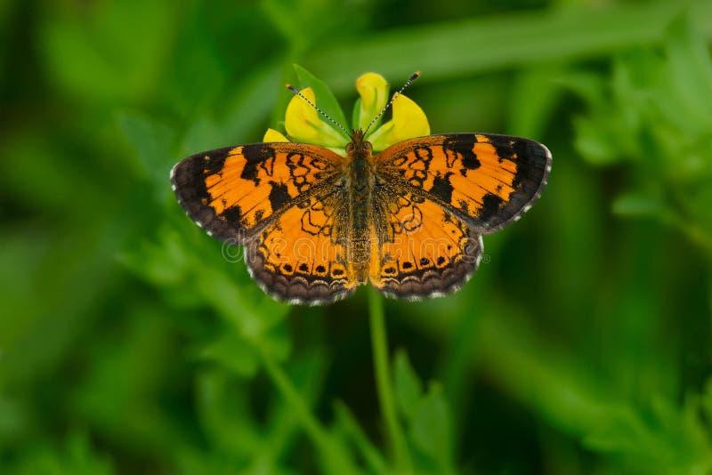 Nordliga Crescent Butterfly royaltyfri bild