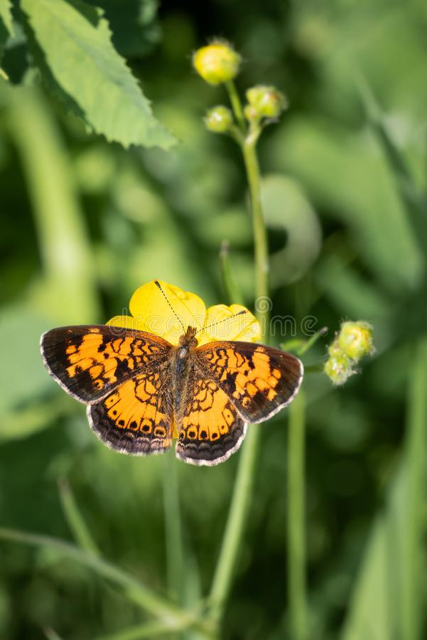 Nordliga Crescent Butterfly Perched On Buttercup royaltyfri bild