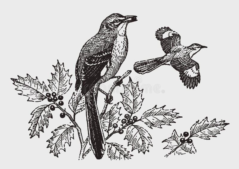Nordliga härmfågelmimuspolyglottos som sitter på en järnekväxt och äter ett bär royaltyfri illustrationer