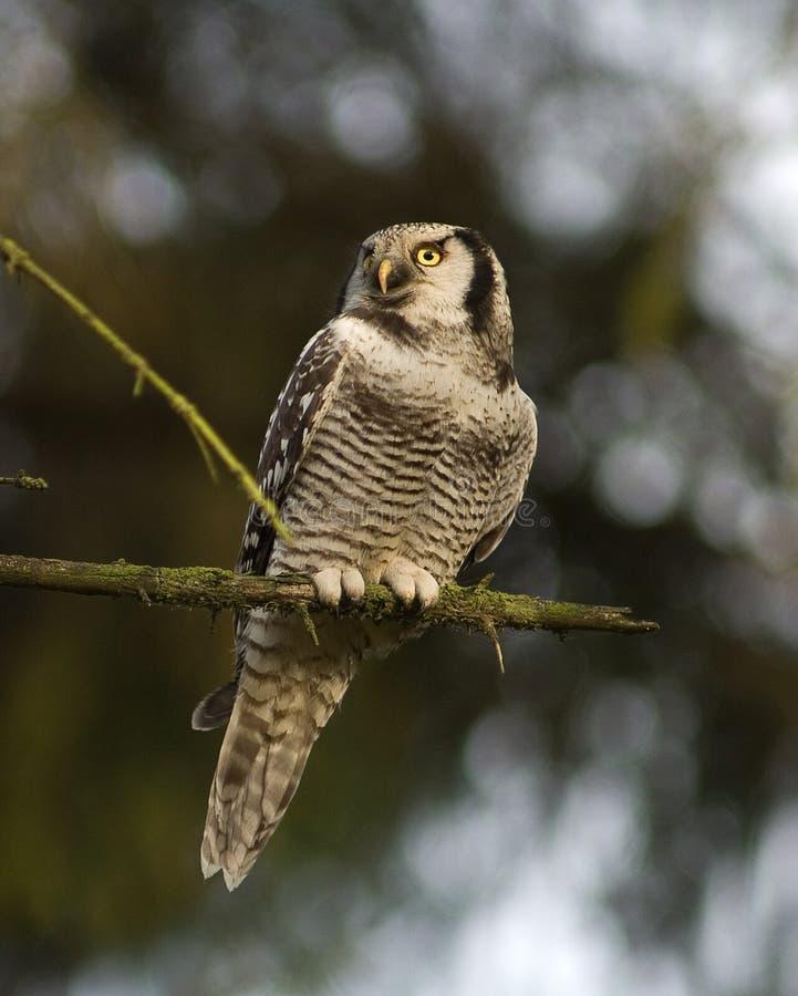 Nordliga Hawk Owl; Sperweruil; Surniaulula royaltyfri fotografi