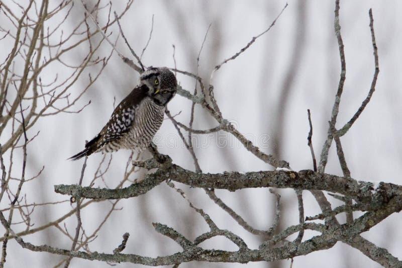 Nordliga Hawk Owl, Surniaulula, plirar på tittaren royaltyfri bild