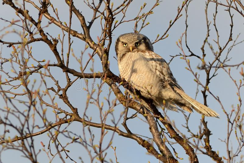 Nordliga Hawk Owl - Surniaululasammanträde på trädet bredvid vägen i Varanger, Norge fotografering för bildbyråer