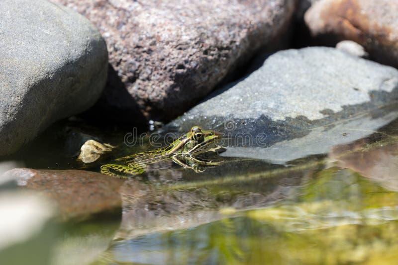 Nordliga Lithobates för leopardgroda pipiens i vatten arkivbild