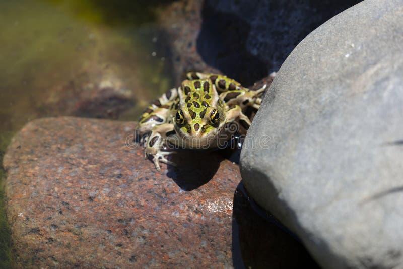 Nordliga Lithobates för leopardgroda pipiens i vatten fotografering för bildbyråer