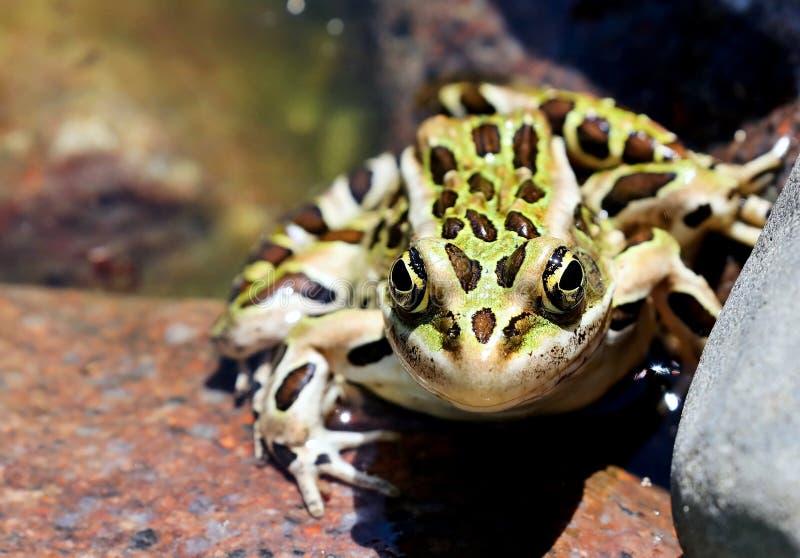 Nordliga Lithobates för leopardgroda pipiens i vatten royaltyfri bild