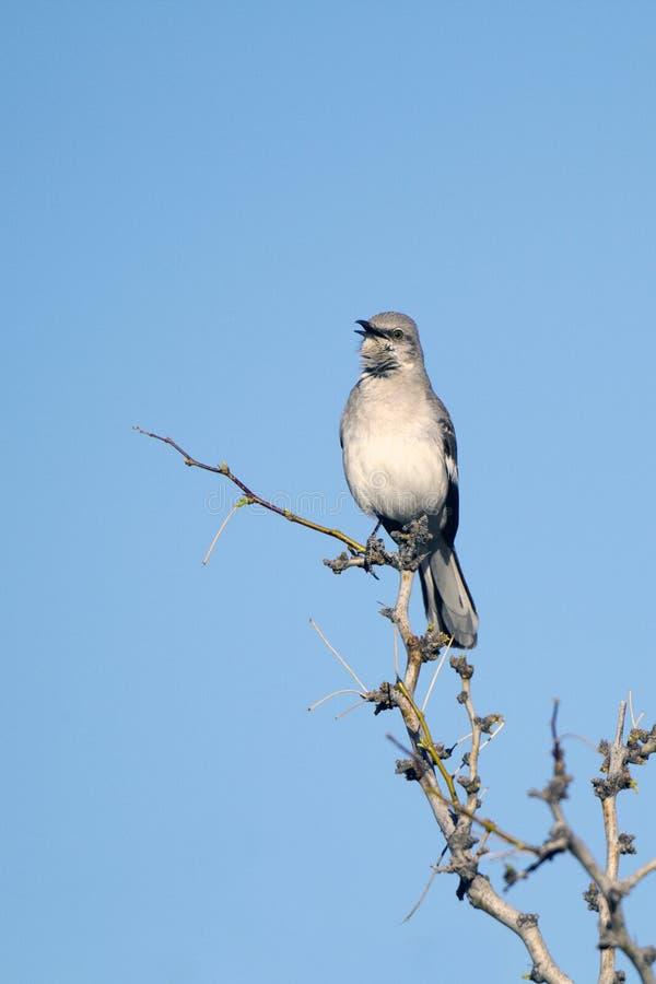 nordliga polyglottos för mimushärmfågel royaltyfri foto