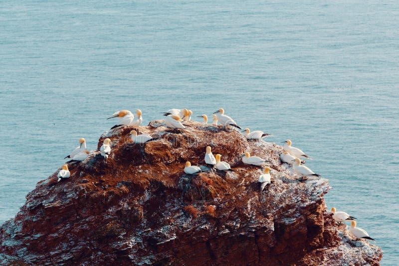Nordligt havssulasammanträde på redet royaltyfri fotografi