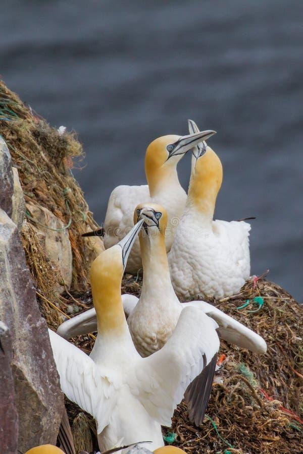 Nordligt havssulauppförande royaltyfria foton