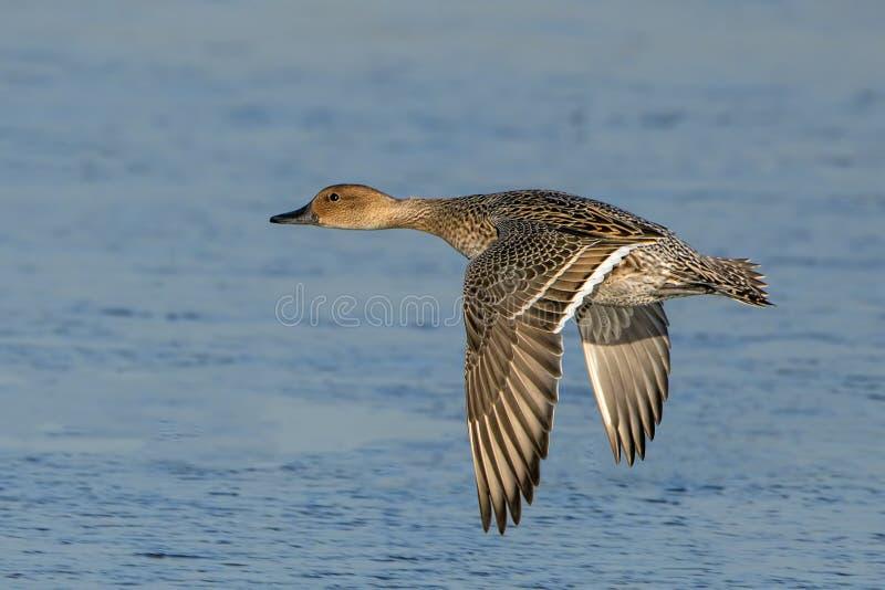 Nordspießenten-Ente - Anekdoten acuta, fliegend über ein Sumpfgebiet lizenzfreie stockfotos