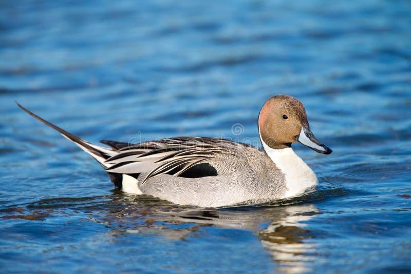 Nordspießenten-Ente, Mann stockbilder