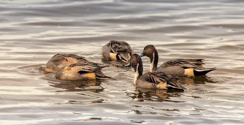 Nordspießenten-Enten, die für Nahrung sich ruckartig bewegen stockbilder