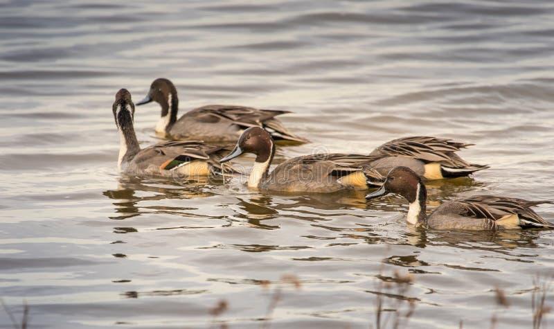 Nordspießenten-Enten gruppierten zusammen lizenzfreies stockbild