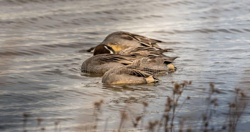 Nordspießenten-Enten unter Wasser stockbild