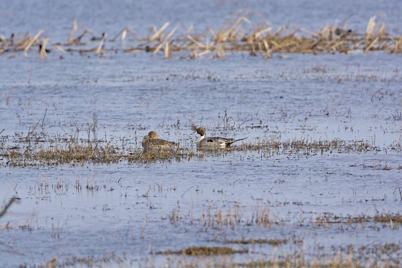 Nordspießentenmann und -frau in einem Sumpfgebiet stauen lizenzfreie stockfotografie