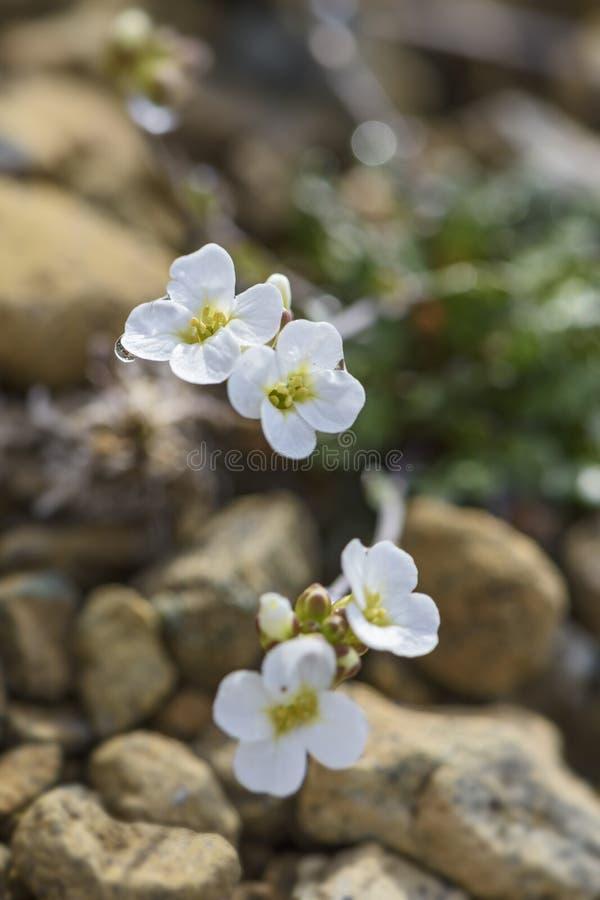 Nordstein-kresseblume - Arabidopsis-petraea lizenzfreie stockfotos