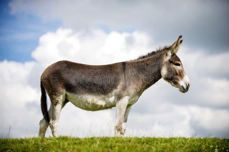 Norfolk Broads, burro foto de archivo