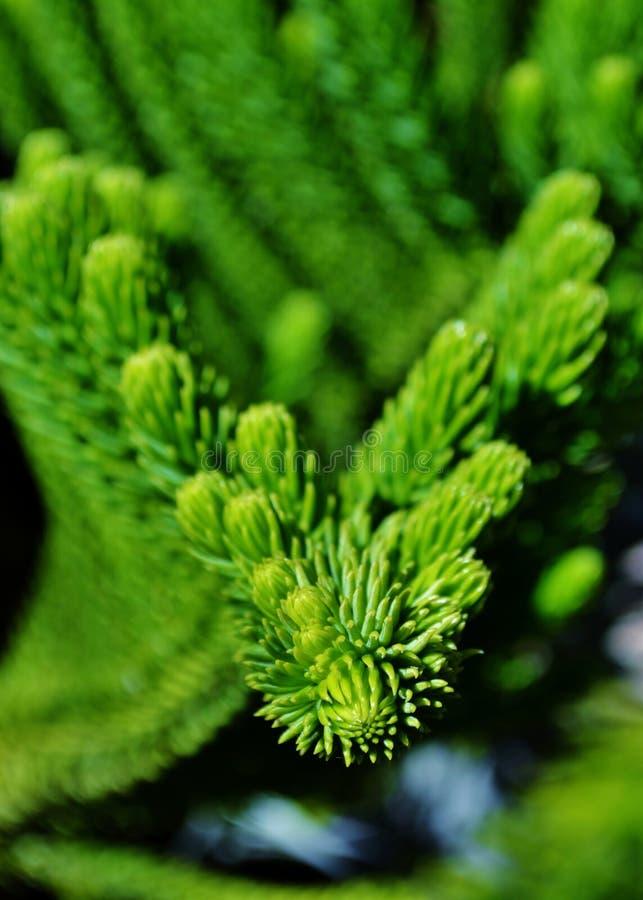Norfolk Island Pine stock image