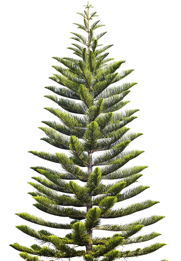 Norfolk Island Pine royalty free stock image