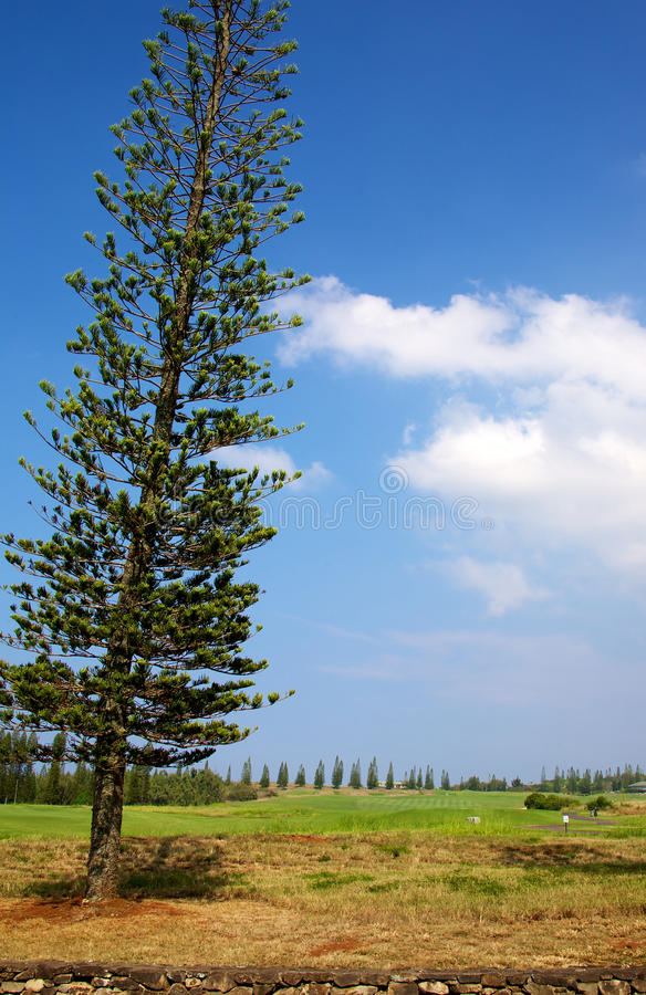 Norfolk Island Pine stock photography