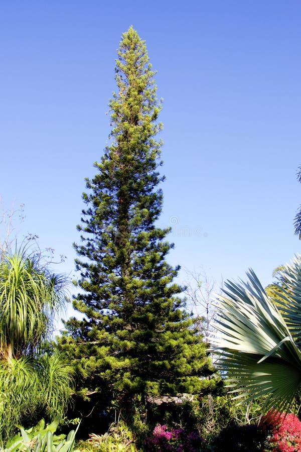 Norfolk Island Pine 837874 stock afbeeldingen