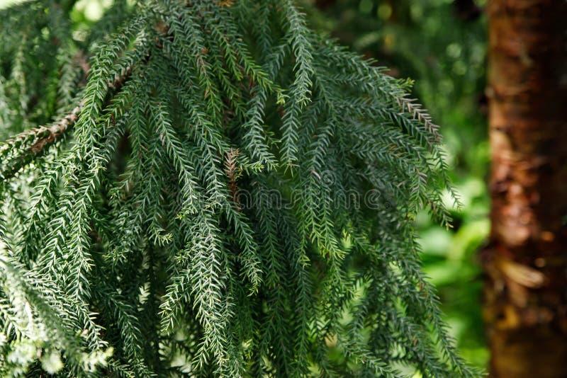 Norfolk Island Pine Latin Name Araucaria Heterophylla ...