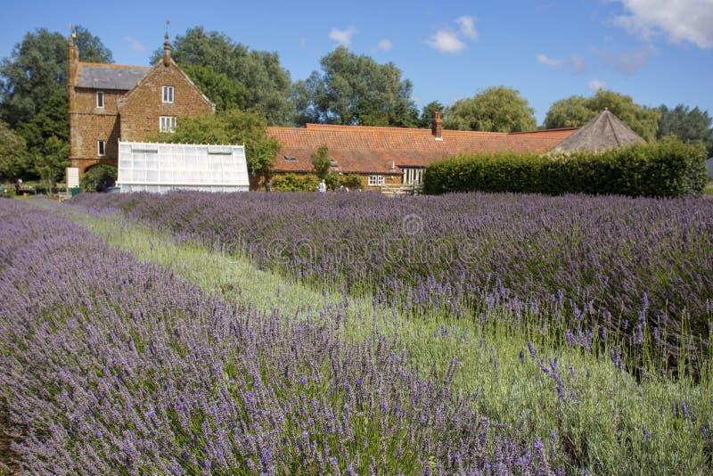 Norfolk lavender horizontal stock photo