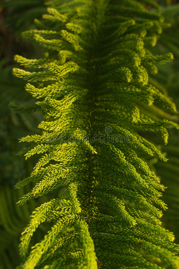 Norfolk Pine Fronds. royalty free stock photography