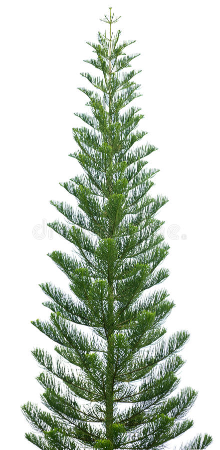 Norfolk pine tree isolated on white royalty free stock images