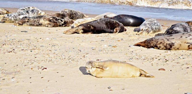 Norfolk sela o viveiro que encontra-se na praia e fecha seus eys do sol fotos de stock