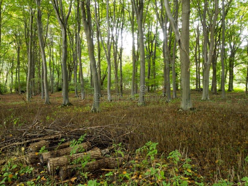 Norfolk skog i UK med träd i gjord klar småskog royaltyfria foton