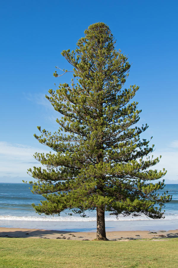 Norfolk sosny dorośnięcie na seashore przy Torquay kipielą zdjęcia royalty free