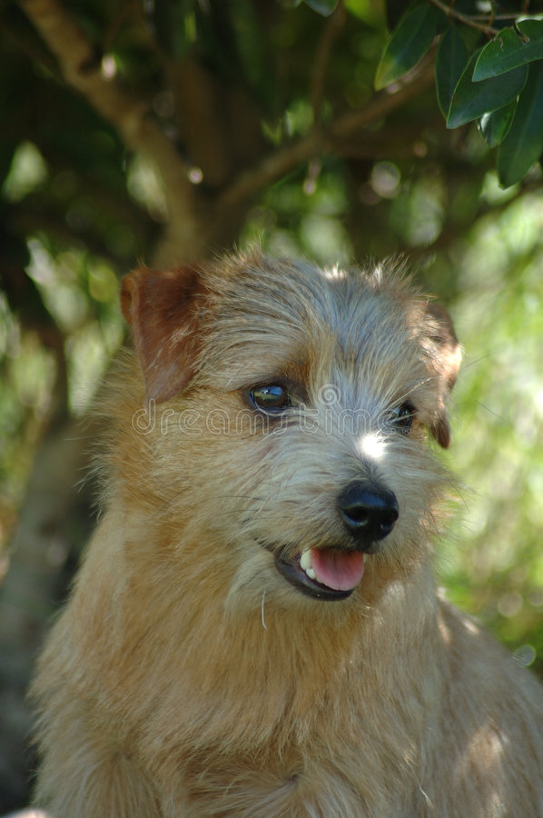 Norfolk Terrier stock image