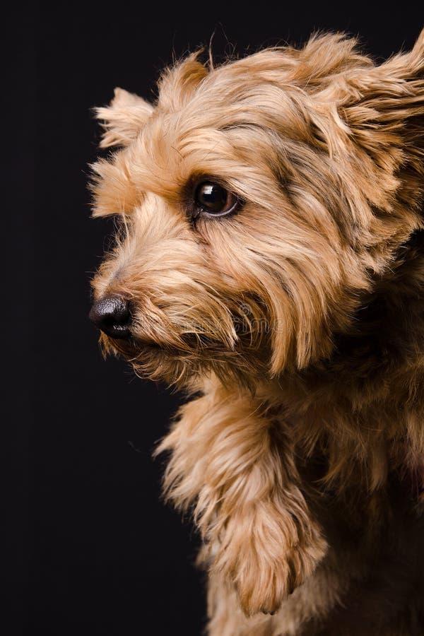 norfolk terrier arkivbild