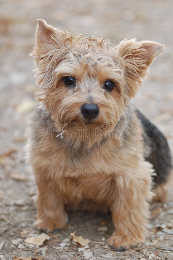 Norfolk-Terrier lizenzfreie stockfotos
