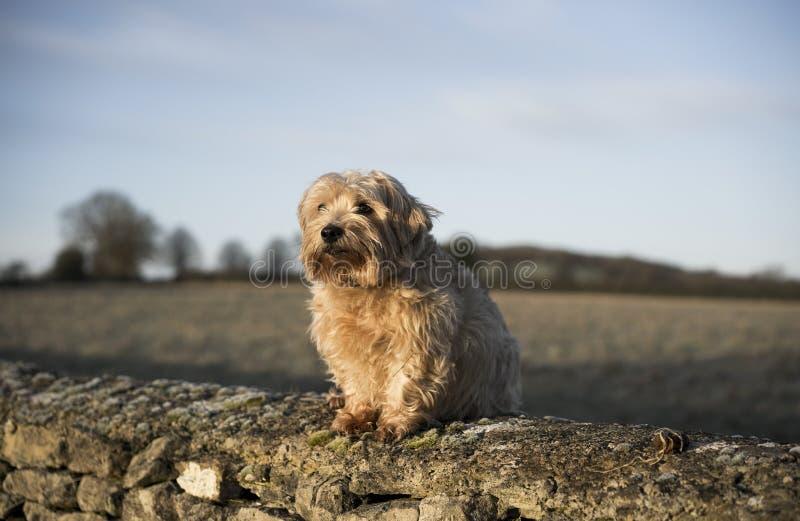 Norfolk Terrier stockbilder