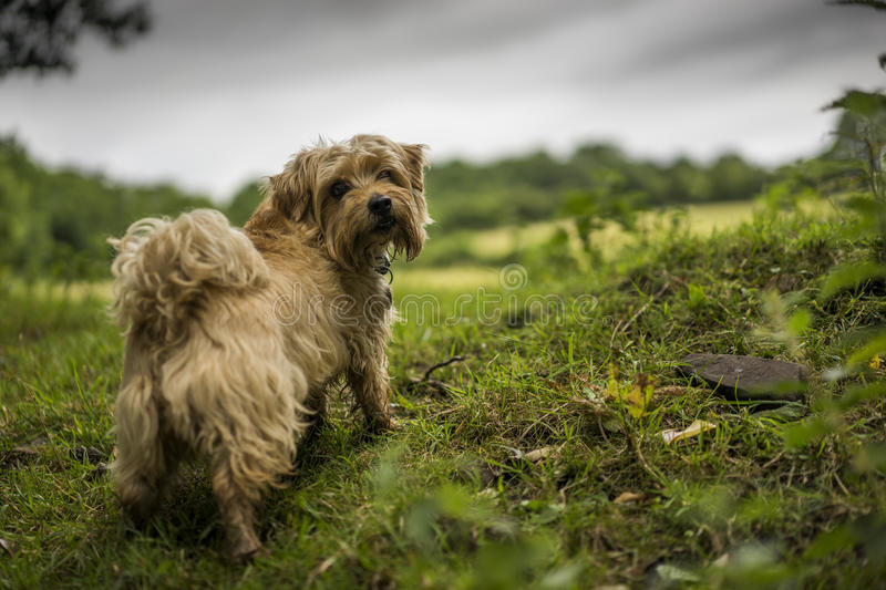 Norfolk Terrier. Amid the English countryside. Dark clouds in the background royalty free stock photo