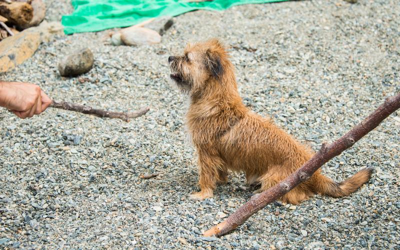 Norfolk Terrier puppy is standing on the beach royalty free stock image