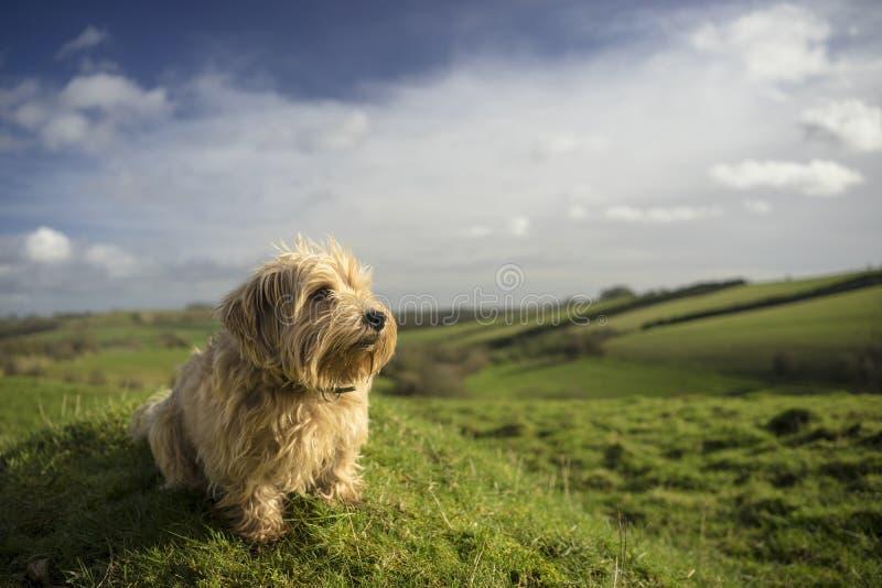 Norfolk Terrier stock image