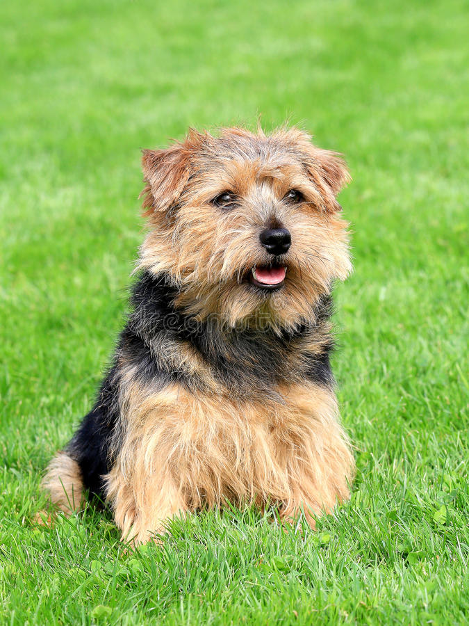 Norfolk terrier on a green grass lawn royalty free stock photos