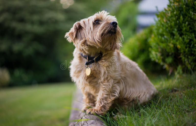 Norfolk Terrier. Looking at owner out of the frame royalty free stock photos