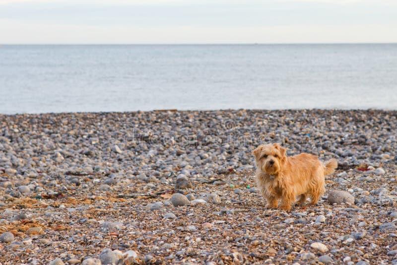 Norfolk terrier på stranden royaltyfri bild