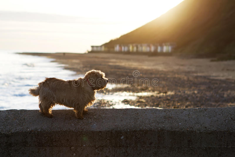 Norfolk terrier på stranden royaltyfri foto
