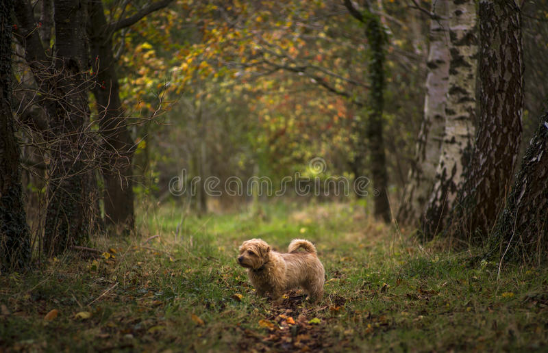 Norfolk Terrier. A Norfolk Terrier on the path in the woods stock photo