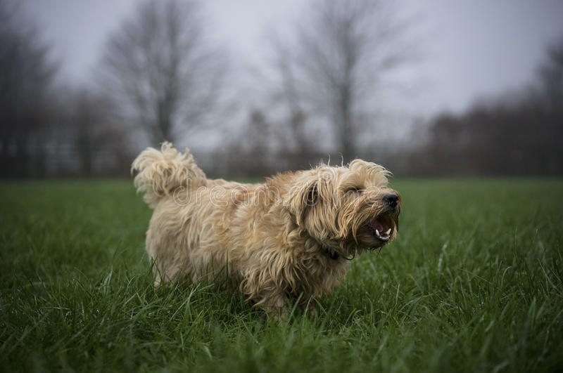 Norfolk Terrier royalty free stock photography