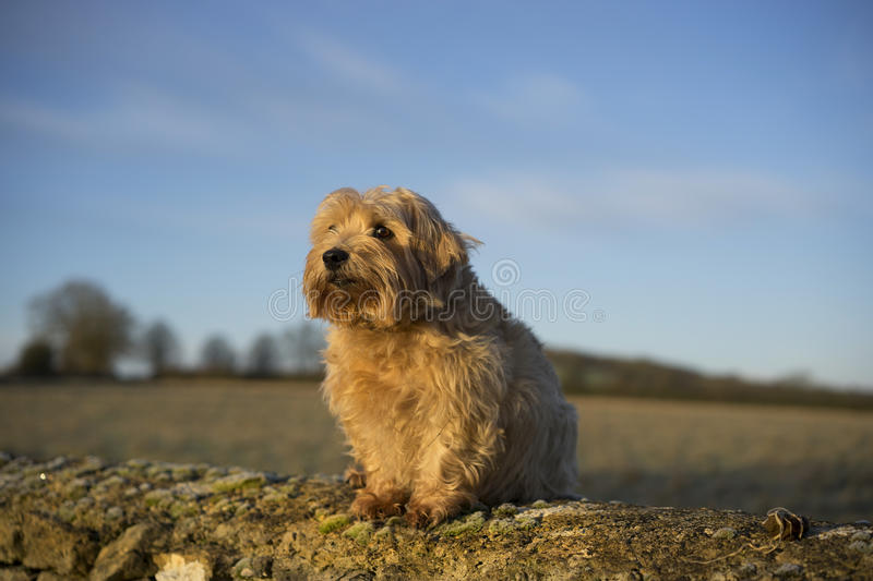 Norfolk Terrier. Sitting on a wall in the UK countryside stock photos