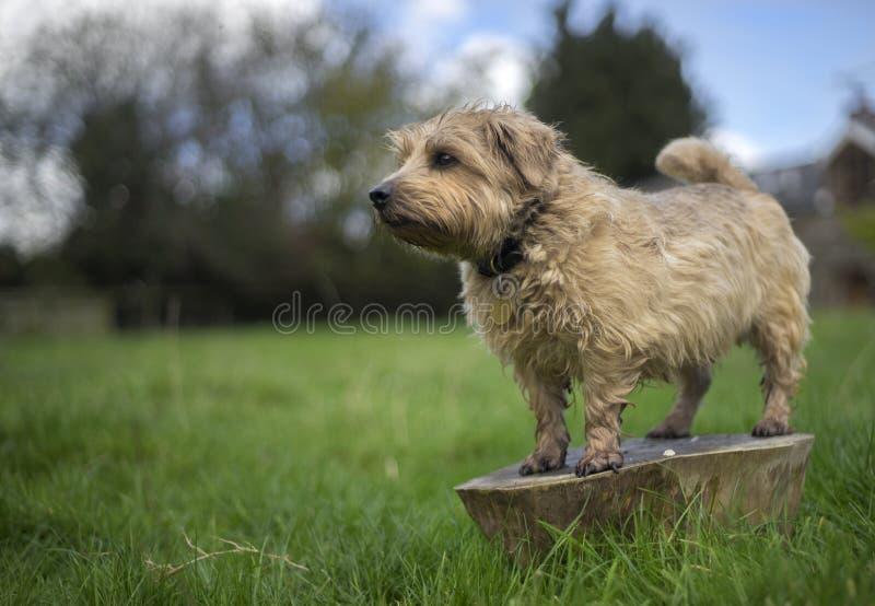 Norfolk Terrier royalty free stock image