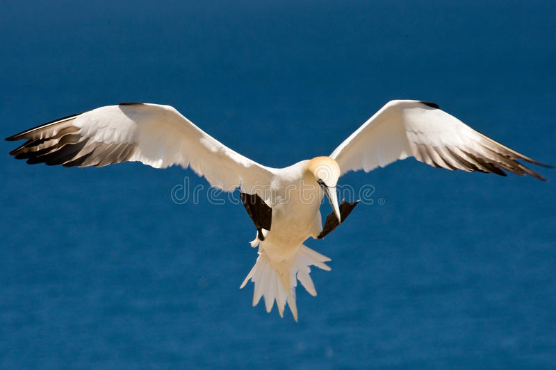 Norhern Gannet. Northern Gannet With Wings Spread Hovering in Flight royalty free stock image
