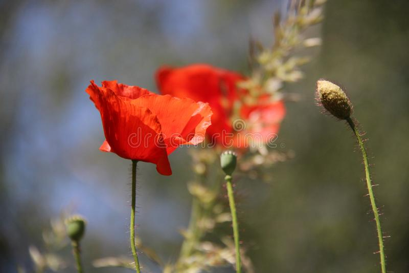 normal Bourgeons et fleur rouge de floraison d'opium images libres de droits