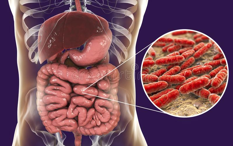 Normal flora of small intestine, bacteria Lactobacillus vector illustration